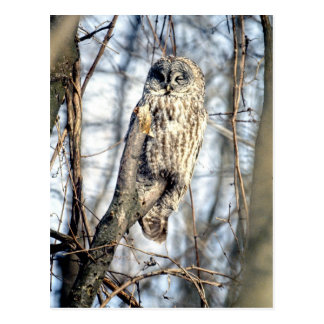 Great Gray Owl, Creamy Brown Watcher Postcard