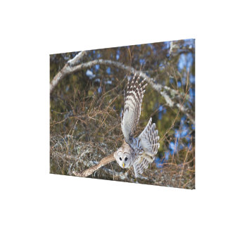 Great Gray Owl Flying Canvas Print