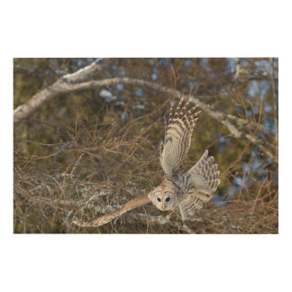 Great Gray Owl Flying Wood Print