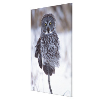 Great Gray Owl near Pine City MN, Canvas Print