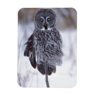 Great Gray Owl near Pine City MN, Magnet