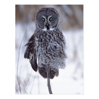 Great Gray Owl near Pine City MN, Postcard