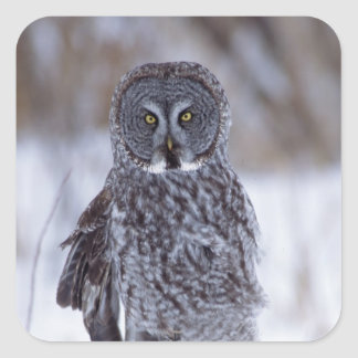 Great Gray Owl near Pine City MN Square Sticker