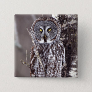 Great Gray Owl, Pine City MN perched on Aspen Pinback Button