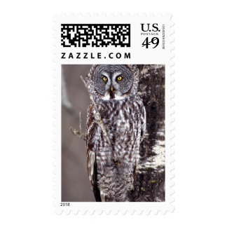 Great Gray Owl, Pine City MN perched on Aspen Stamp