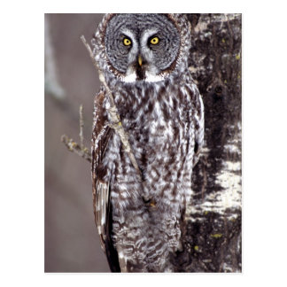 Great Gray Owl, Pine City MN perched on Aspen Postcard