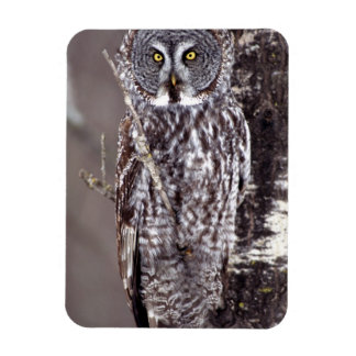 Great Gray Owl, Pine City MN perched on Aspen Rectangle Magnet