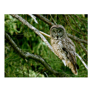 Great Gray Owl Post Card
