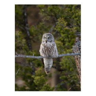Great Gray Owl Postcard