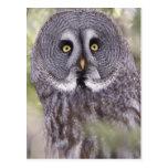 Great Gray Owl (Strix nebulosa) Postcard