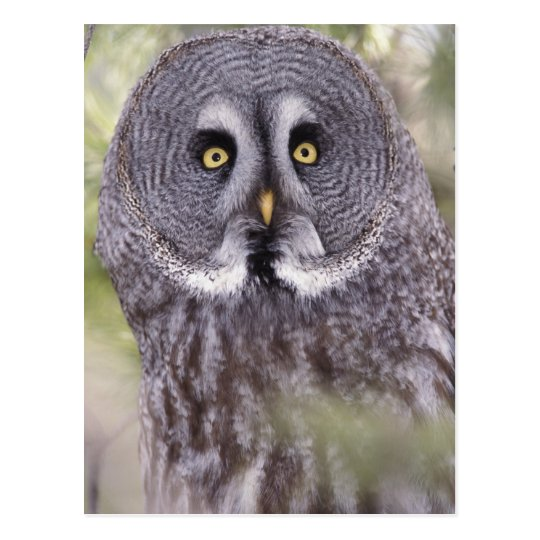 Great Gray Owl (Strix nebulosa) Postcard