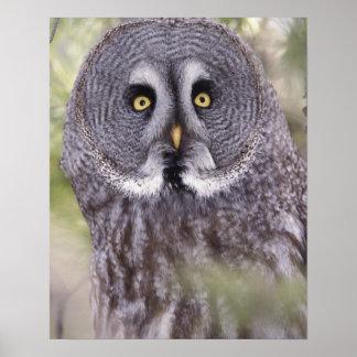 Great Gray Owl (Strix nebulosa) Poster