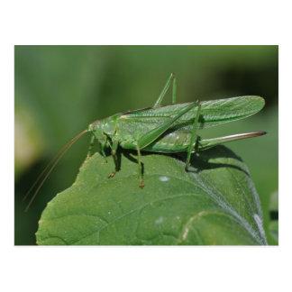 Great green bush cricket postcard