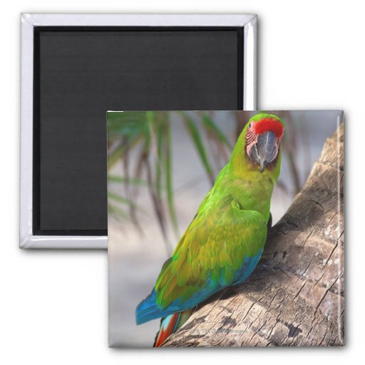 Great green macaw on a tree 2 inch square magnet
