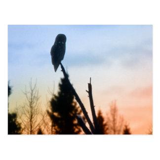 Great Grey Owl at Sunset Postcard