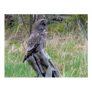 Great Grey Owl in the Wild Postcard