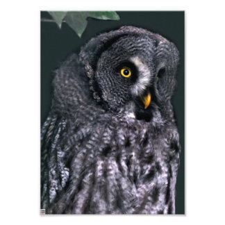 Great Grey Owl Photo Print