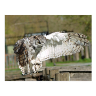 Great Horn Owl Flying 4 Postcard