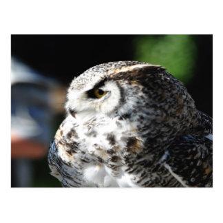 Great Horn Owl looking Postcard