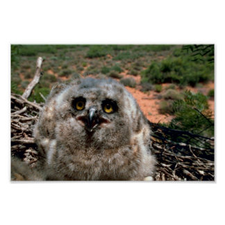 Great Horned Owl (3 weeks) Poster