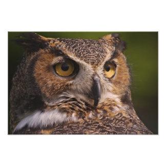 Great Horned Owl, Bubo virginianus Art Photo