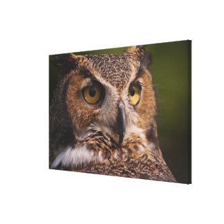 Great Horned Owl, Bubo virginianus Canvas Print