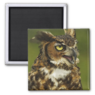 Great Horned Owl, Bubo virginianus, Captive 2 2 Inch Square Magnet