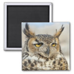 Great Horned Owl (Bubo virginianus), captive 2 Inch Square Magnet