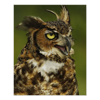 Great Horned Owl, Bubo virginianus, Captive 2 Poster