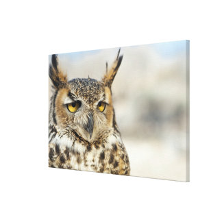 Great Horned Owl Bubo virginianus captive Canvas Prints