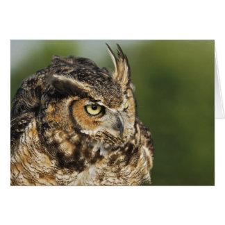 Great Horned Owl, Bubo virginianus, Captive Cards