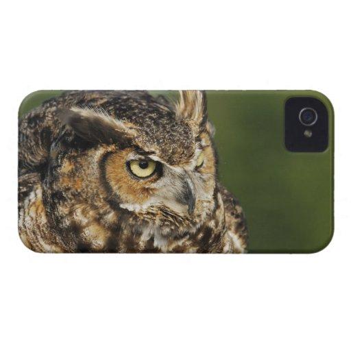 Great Horned Owl, Bubo virginianus, Captive Blackberry Cases