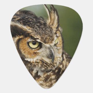 Great Horned Owl, Bubo virginianus, Captive Guitar Pick