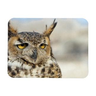 Great Horned Owl (Bubo virginianus), captive Magnet