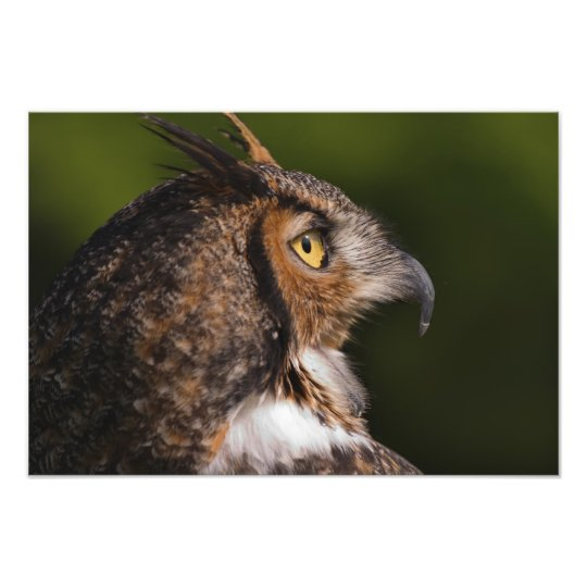 Great Horned Owl, Bubo virginianus, captive Photo Print