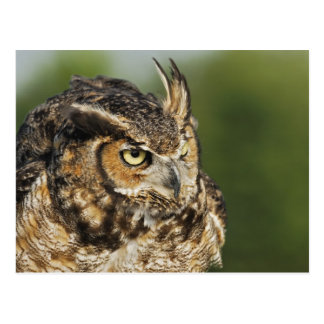 Great Horned Owl, Bubo virginianus, Captive Post Cards