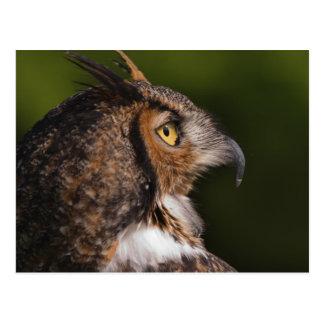 Great Horned Owl, Bubo virginianus, captive Post Card
