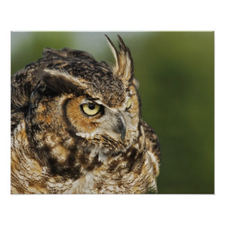 Great Horned Owl, Bubo virginianus, Captive Poster