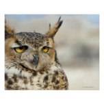 Great Horned Owl (Bubo virginianus), captive Poster