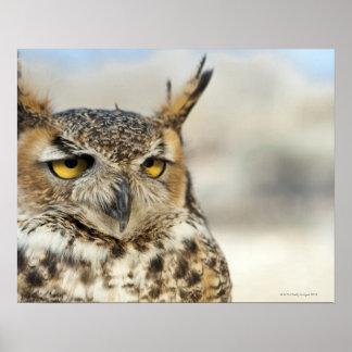 Great Horned Owl Bubo virginianus captive Print