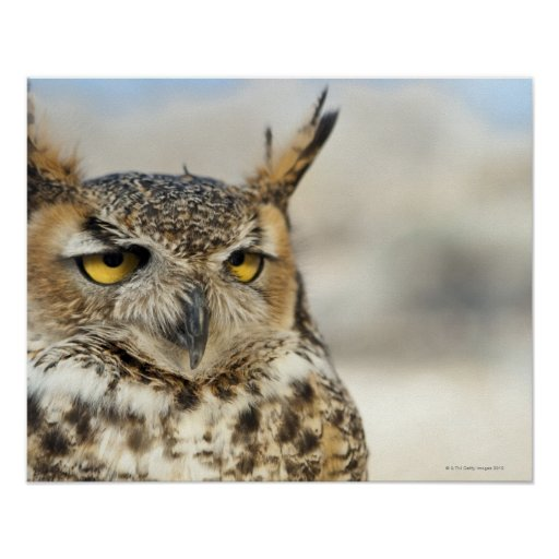 Great Horned Owl (Bubo virginianus), captive Print
