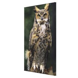 Great Horned Owl (Bubo virginianus), full body Canvas Print