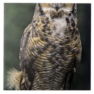 Great Horned Owl (Bubo virginianus), full body Ceramic Tile
