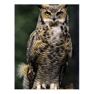 Great Horned Owl (Bubo virginianus), full body Post Cards
