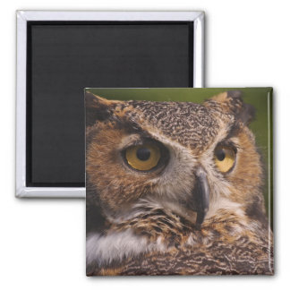Great Horned Owl, Bubo virginianus 2 Inch Square Magnet
