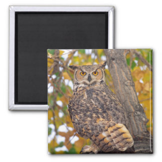 Great Horned Owl, Bubo virginianus, Native to 2 Inch Square Magnet