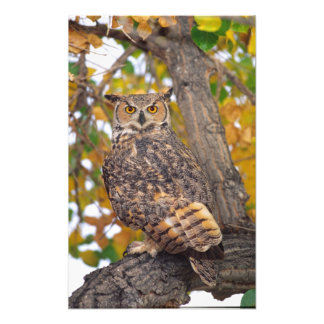 Great Horned Owl, Bubo virginianus, Native to Photo Print