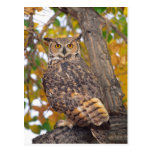 Great Horned Owl, Bubo virginianus, Native to Post Cards