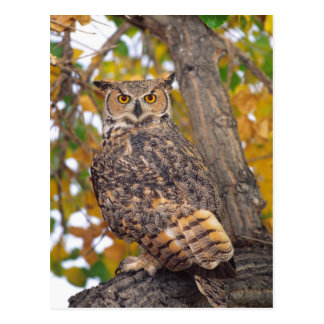 Great Horned Owl, Bubo virginianus, Native to Postcard