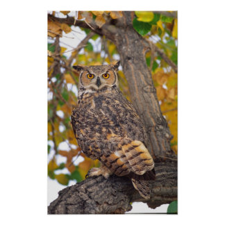 Great Horned Owl, Bubo virginianus, Native to Poster